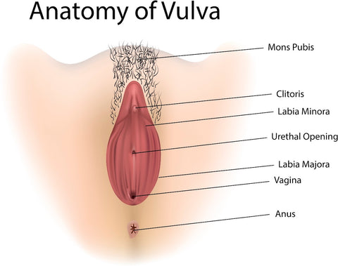 Diagram of the anatomy of the vulva.