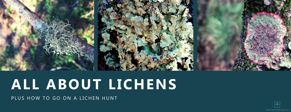 Learn about lichens and get directions for going on your own lichen hunt in this winter nature study from Elemental Science.