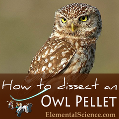 How to do your own Owl Pellet Dissection