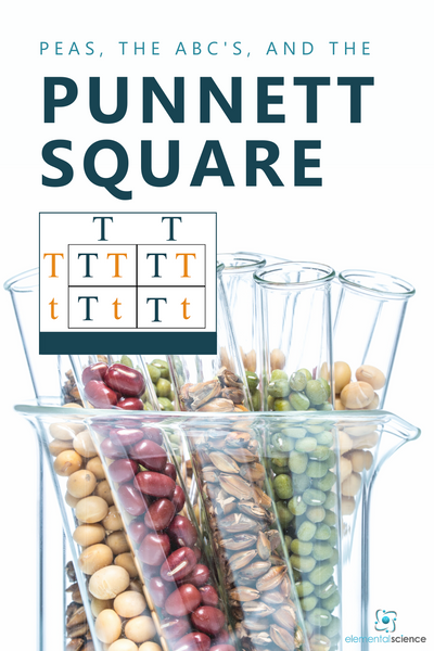 What do peas, the ABC's, and genetics have in common? Find out as you learn about the Punnett Square, plus get a FREE printable to share a bit about genetics with your students.