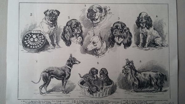 Print of Dog show King Charles / English Toy Spaniel