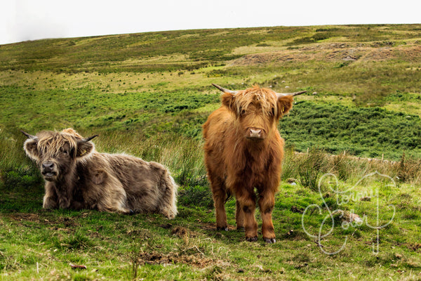 Welsh Cows