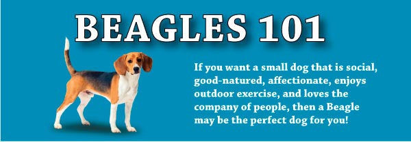 Beagles - Are They The Right Dog For You?