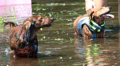 Dachshunds in Water