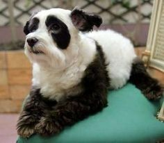 Dog Halloween Costume Panda Bear