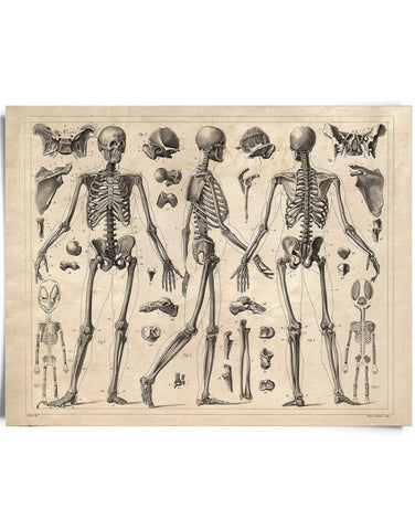 Vintage Anatomy Skeleton Diagram Print 8x10