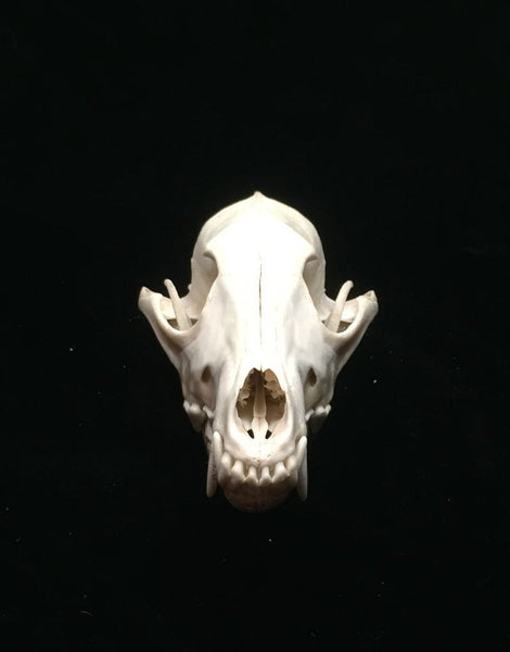 COYOTE DOMESTIC SKULL
