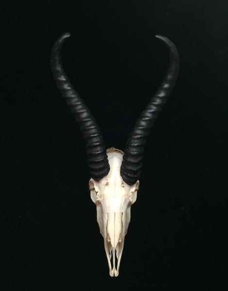 SPRINGBOK MALE SKULL THE ROCK STORE
