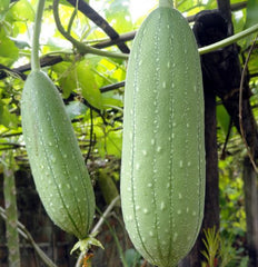 This is a loofah (luffa) plant