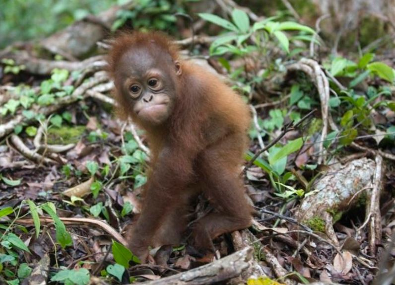 little monkey displaced by palm oil deforestation