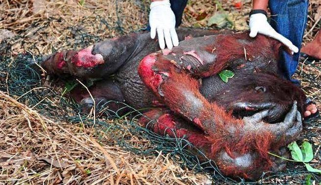 Messed up orangatang from palm oil deforestation