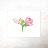 Pink amaryllis botanical print based on watercolour painting by Kathleen Maunder