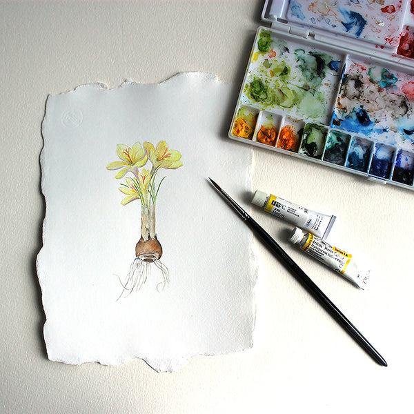 Botanical watercolour painting of yellow crocus by Kathleen Maunder