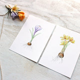 Purple and yellow crocus bulbs by watercolor artist Kathleen Maunder