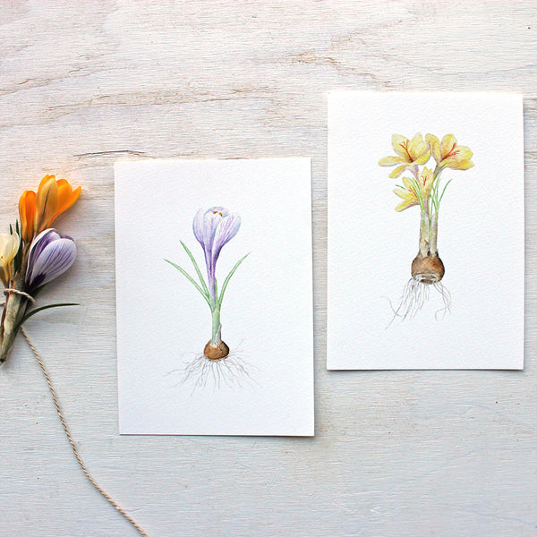 Paintings of purple and yellow crocus bulbs by watercolor artist Kathleen Maunder