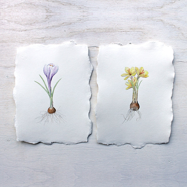 Original botanical watercolor paintings of purple and yellow crocus by Kathleen Maunder