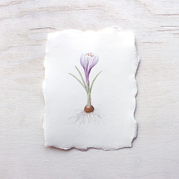 Original botanical watercolour painting of purple crocus by Kathleen Maunder
