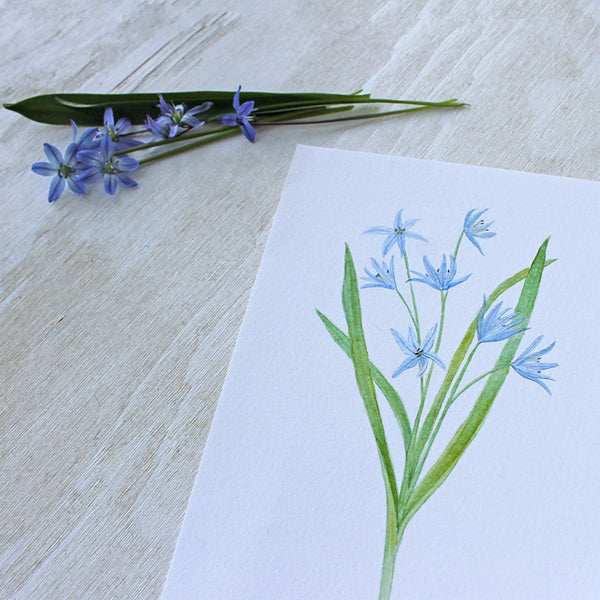 Scilla watercolour print by artist Kathleen Maunder