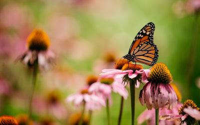 Monarch pollinates wildflower
