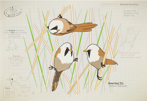 Bearded tit Ltd Ed. print