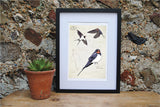 Swallow Ltd Ed. print