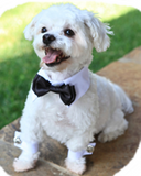 Holiday Formal Black Satin Bow Tie and Dress-up Collar - Daisey's Doggie Chic - 3