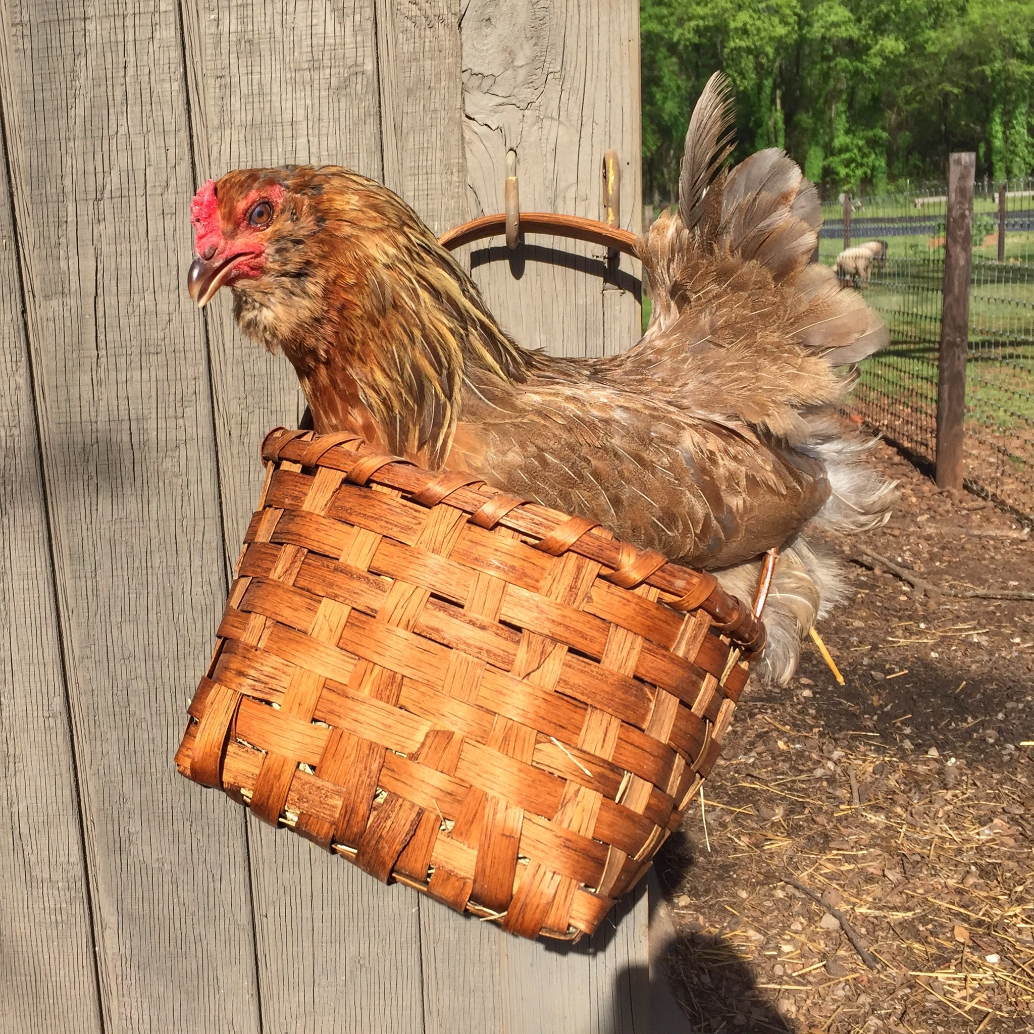 Tour the 1818 Farms Chicken Coop