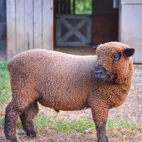 1818 Farms Babydoll Sheep