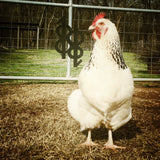 Chicken 101 (at the Cupboard): Keeping a Backyard Flock