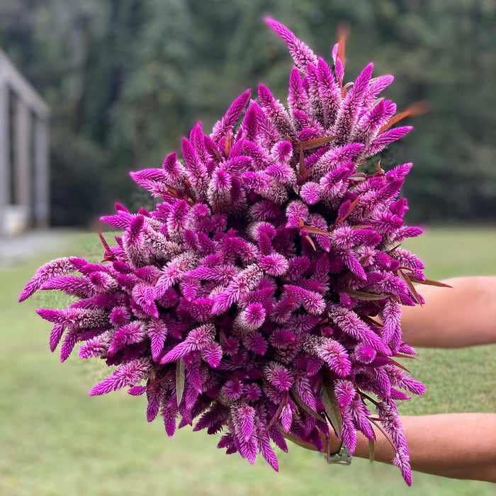 Celosia Flamingo Purple Seeds