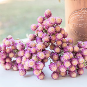 Dried Gomphrena/Globe Amaranth Bundle - Bi-Color Rose