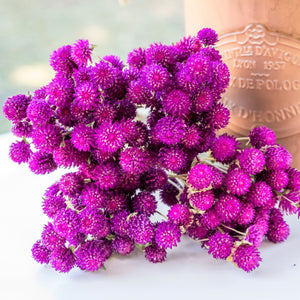 Dried Gomphrena/Globe Amaranth Bundle - Dark Purple