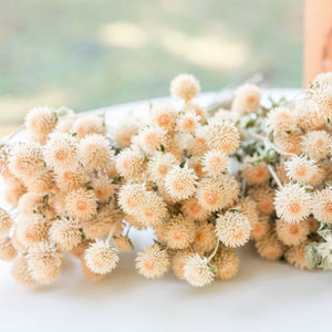 Dried Gomphrena/Globe Amaranth Bundle - White/Cream
