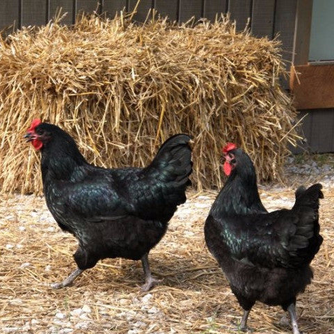 Chicken 101: Keeping a Backyard Flock - 1818 Farms