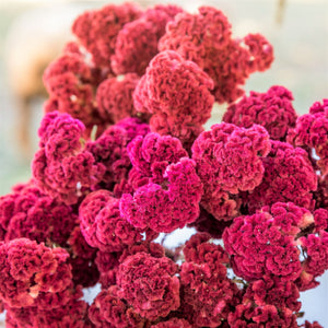 Dried Chief Celosia Bundle