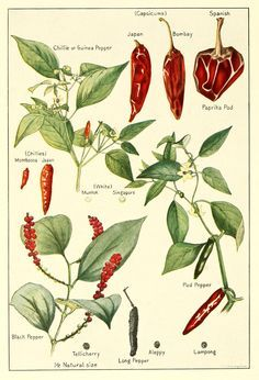 scientific chilli