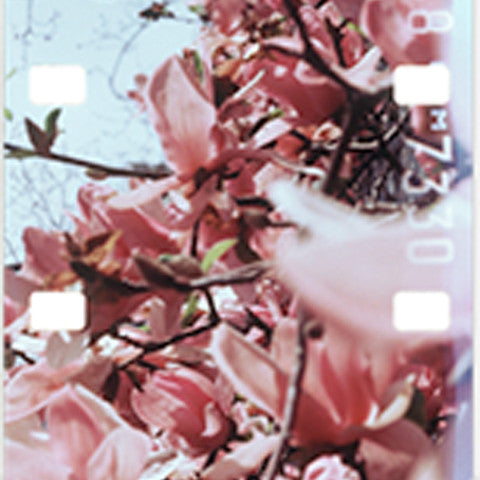 Leah Singer - Film Strip #1 (Magnolias)