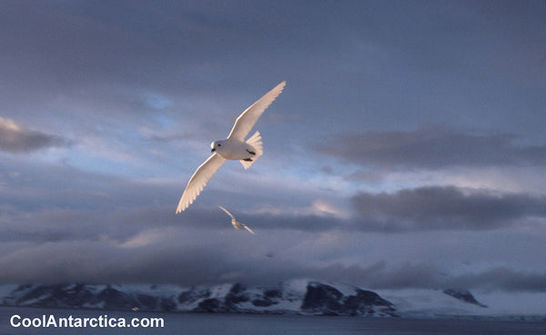 Snow Petrel anartica
