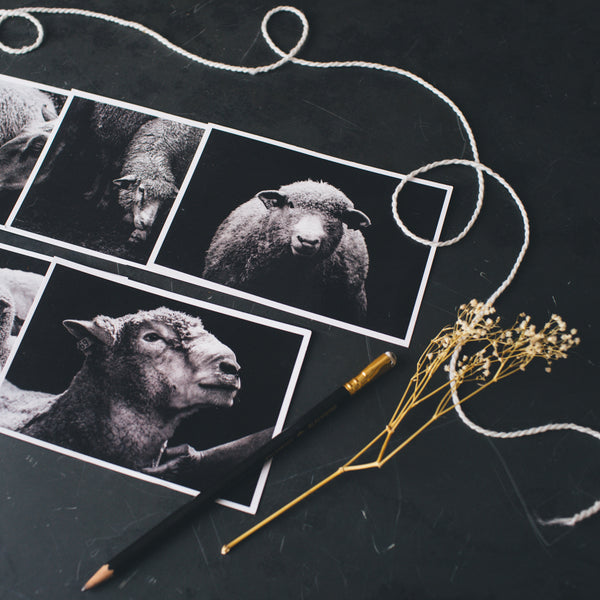 Stone Wool Sheep Portrait Postcard Set