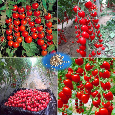All fruit Seeds Quality Seed Home Garden Balcony Bonsai Tree Plants