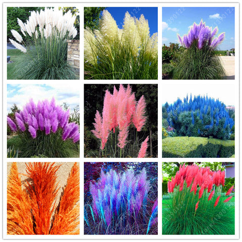 1200 PCS/package PAMPAS GRASS rare reed flower for home garden planting Selloana