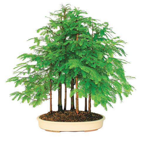 200pcs Dawn Redwood Bonsai Tree Grove - Metasequoia glyptostroboides DIY home ga ,  - JKK Mart, JKK Mart