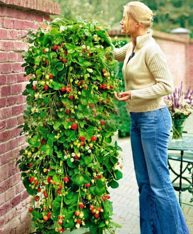 500 Pcs / Pack Climbing Strawberry Tree Seeds Vertical Garden Sweet Fruit Seed
