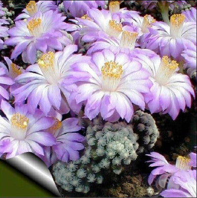 10Pcs Cactus Rebutia Variety Mix Exotic Flowering Color Cacti Rare Cactus Aloe S
