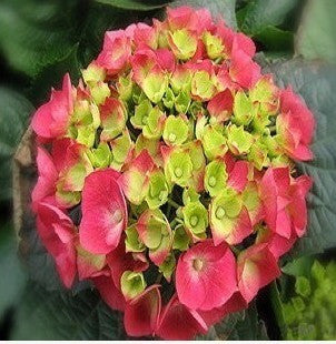 10PCS Pack Common Hydrangea Seed Balcony Potted Flowers Hydrangea Seed Varieties