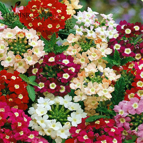 Verbena seeds Hortensis Rare Bonsai flower seed Indoor balcony plants for Home g - JKK Mart