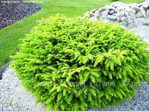 20pcs/bag Colorado Blue Spruce Tree Potted Bonsai Courtyard Garden Bonsai Plant - JKK Mart
