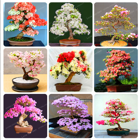 Rare Sakura Bonsai Flower Cherry Blossoms Tree Cherry Blossom Bonsai Plants For - JKK Mart