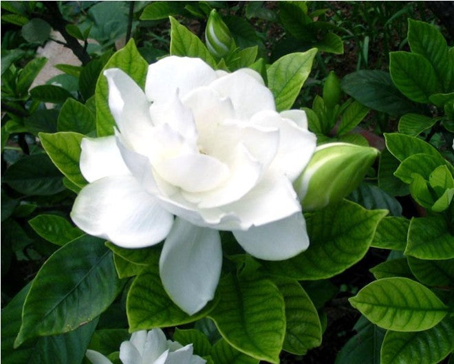 50pcsbag arabian jasmine gardenia flower seeds rare white and 50pcsbag arabian jasmine gardenia flower seeds rare white and fragrance cape ja mightylinksfo