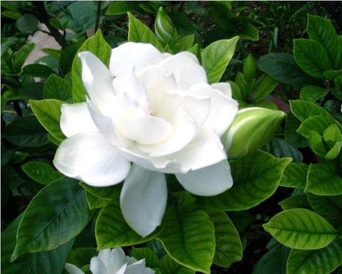 50pcs/bag arabian jasmine gardenia flower seeds rare white and fragrance cape ja - JKK Mart